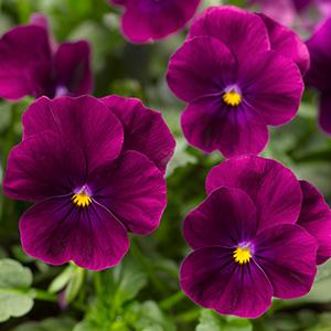 Rocky Bright Purple imp.