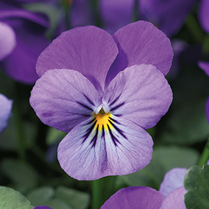 Endurio Lavender