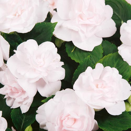 ruusuliisa.jpg