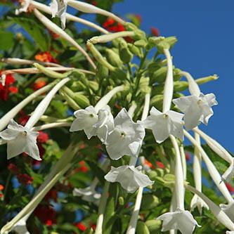 Narsissitupakka1.jpg