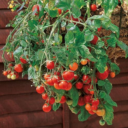 tomaattiamppeli.jpg