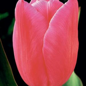 Jumbo Pink ®