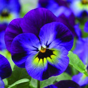 Rocky Violet Blue