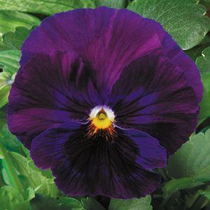 Delta Pure Violet