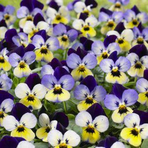 Endurio Blue/Yellow Purple Wing