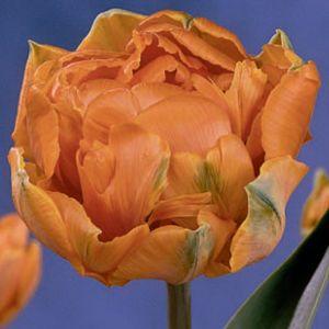 Orange Princess