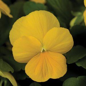Rocky Golden Yellow